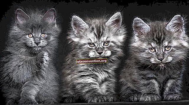 12 Potret Megah dari Kucing Mistis dan Langka: Maine Coon.