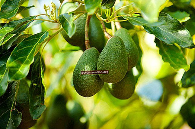 Ecco come coltivare un albero di avocado da un nocciolo di avocado.